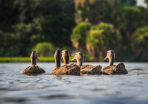 Photo of ducks floating in the middle of a lake
